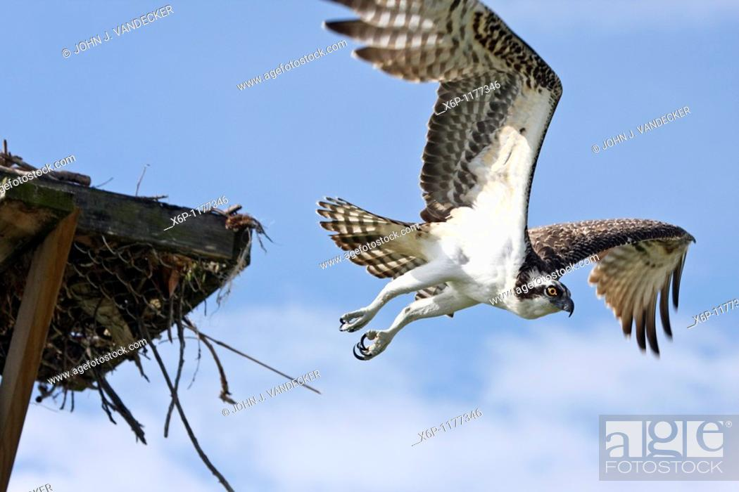 Stock Photo: Osprey, Pandion haliaetus, flying from nesting platform  The Osprey is a juvenile as evidenced by its feathers being fringed with a pale buff  Fort Myers Beach.