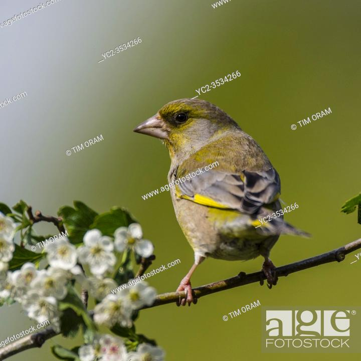 Stock Photo: A male Greenfinch (Carduelis chloris) in the Uk.