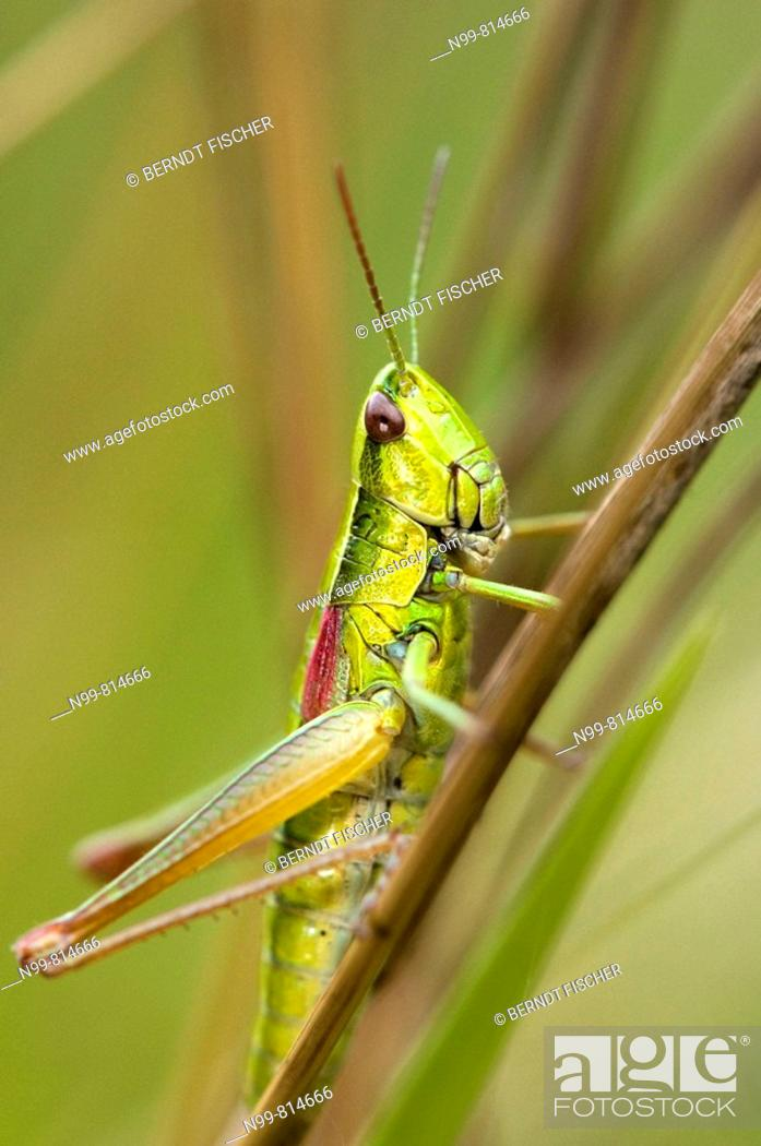 Stock Photo: Small gold grasshopper (Euthystira brachyptera), family field grasshopper, dry meadow, Bavaria, Germany.