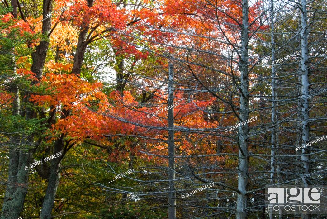 Stock Photo: Dead Trees on an Autumn Morning in Canaan Valley State Park in West Virginia.