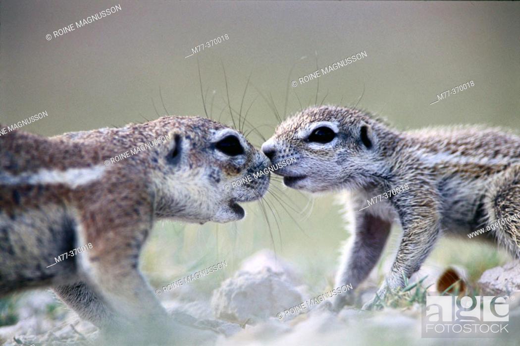 Stock Photo: Mother and baby ground squirrel (Xerus inauris). Etosha National Park. Namibia.