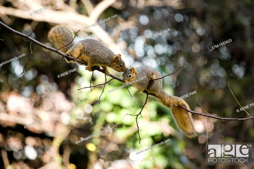 Stock Photo: A male fox tree squirrel pursues a female squirrel in an attempt to mate in Northern California.
