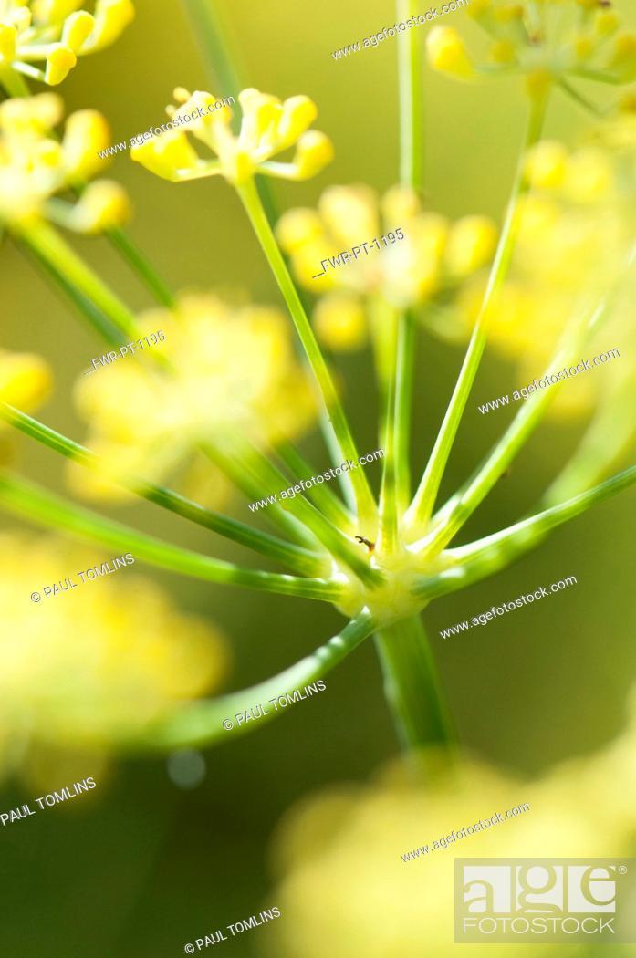 Imagen: Apiaceae, Apiaceae Umbelliferae, close up showing umbellifer shape.