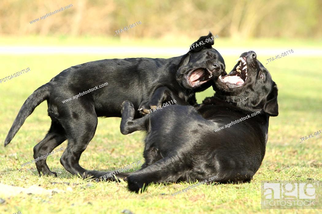 Stock Photo: playing Labrador Retriever.