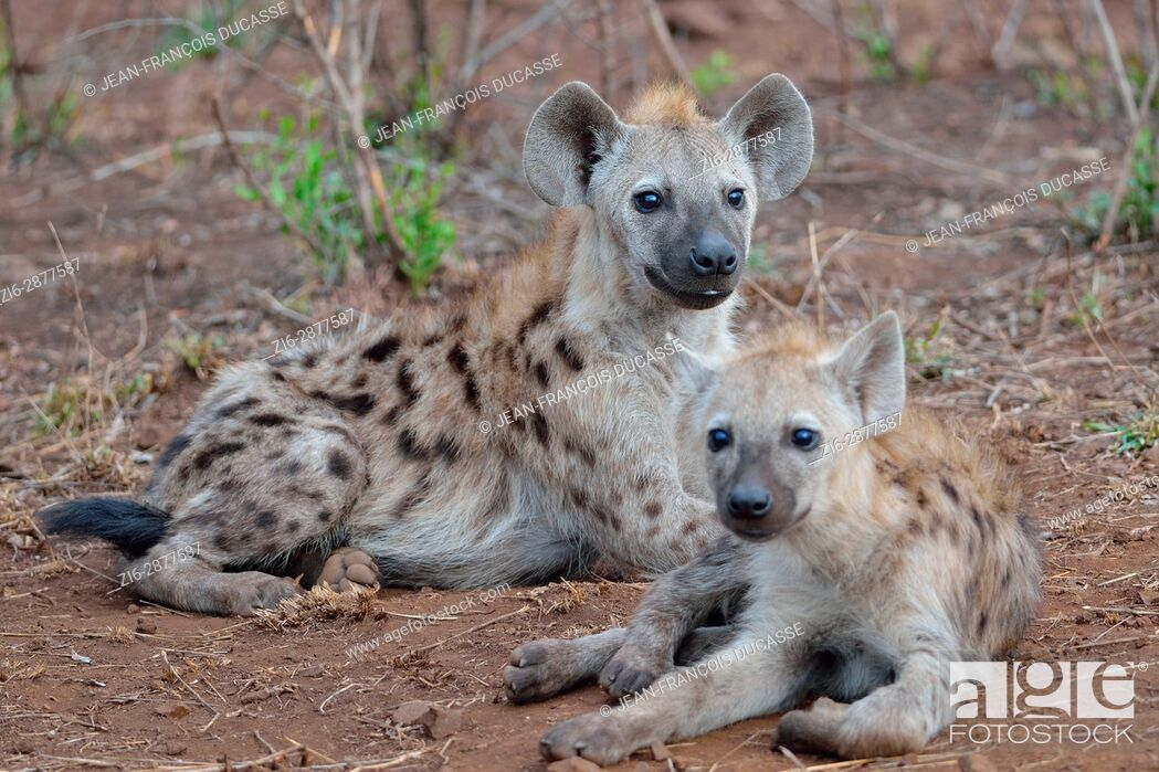 Stock Photo: Spotted hyenas or Laughing hyenas (Crocuta crocuta), lying, facing camera, Kruger National Park, South Africa, Africa.