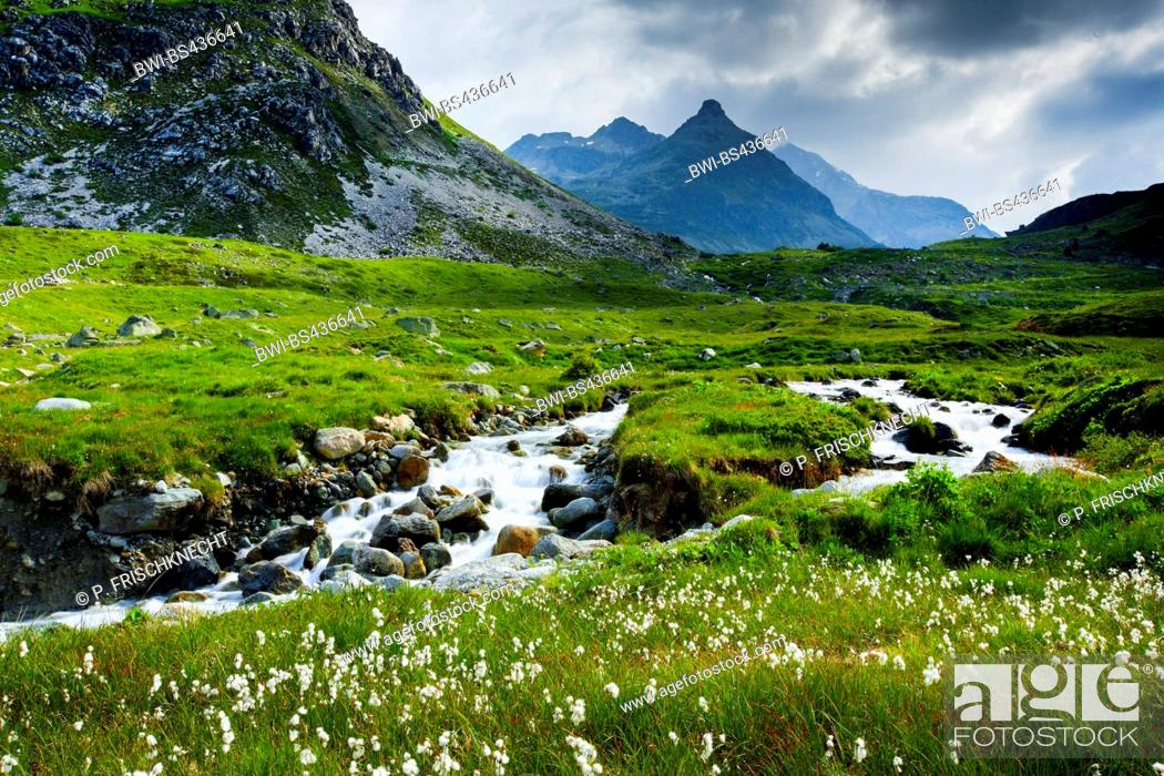 Stock Photo: cotton-grass (Eriophorum spec.), mountain creek at Julier Pass, Switzerland, Grisons.