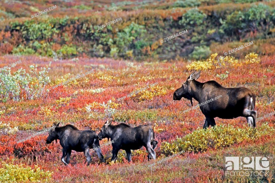 Stock Photo: Elch, die Tragzeit der Elchkuh betraegt 8 Monate - (Alaskaelch - Foto Elchkuh mit Kaelbern) / Moose, the females have an eight-month gestation period - (Giant.