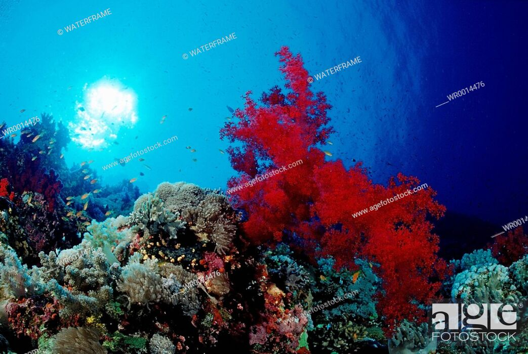 Stock Photo: Colorful Coral Reef, Alcyonaria sp., Taba, Sinai, Red Sea, Egypt.