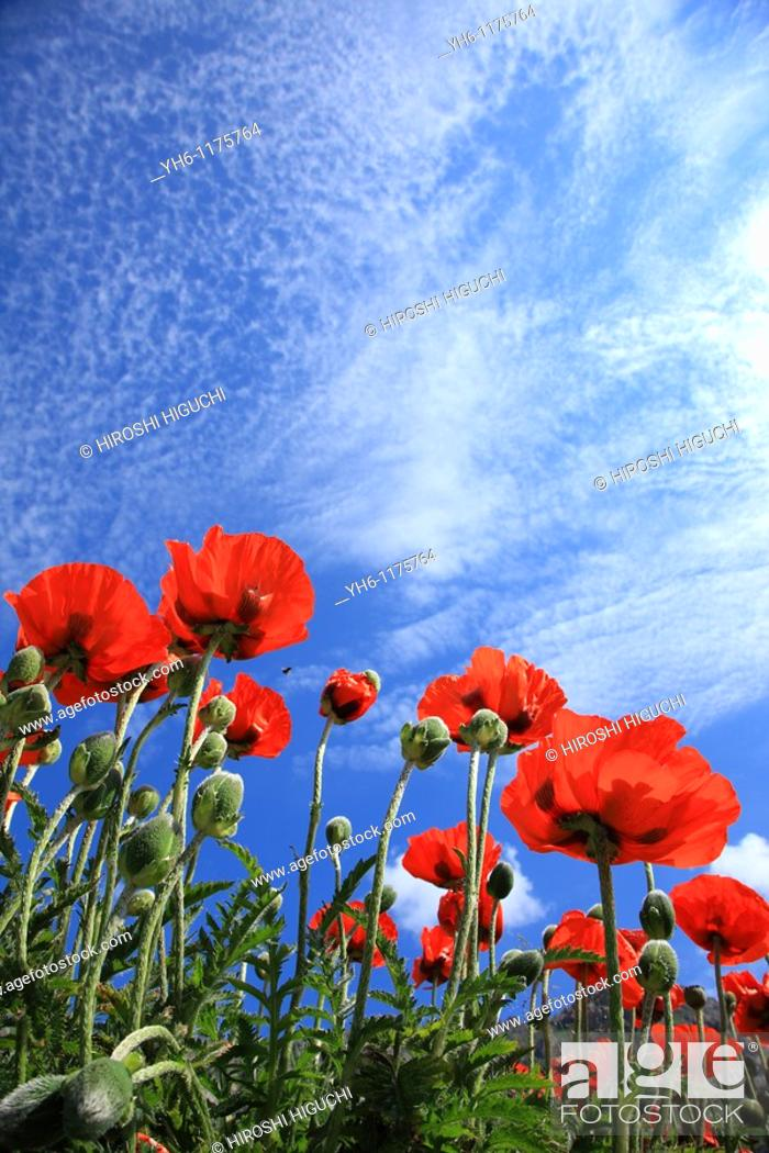 Stock Photo: Poppy flowers, France, Savoie, Val d'Isere.