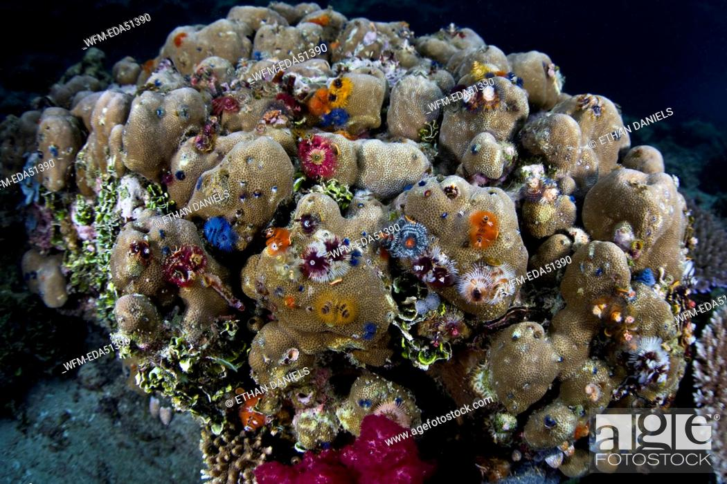 Colony Of Christmas Tree Worms On Porite Coral Spirobranchus