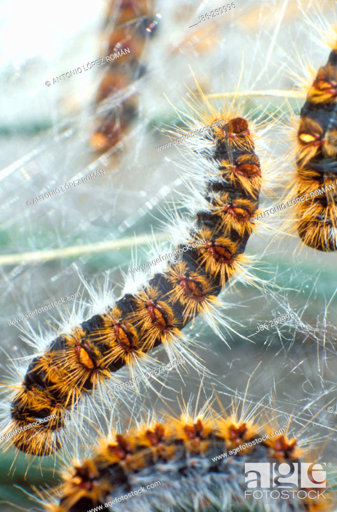 Stock Photo: Pine Processionary (Thaumetopoea pityocampa) caterpillars.