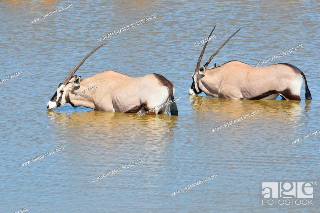 Stock Photo: Gemsboks (Oryx gazella), drinking at a waterhole, Etosha National Park, Namibia, Africa.