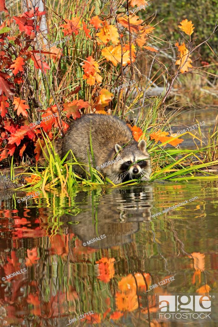 Stock Photo: Raccoon or racoon  Adult  Procyon lotor  Order : Carnivora  Family , Procyonidae.