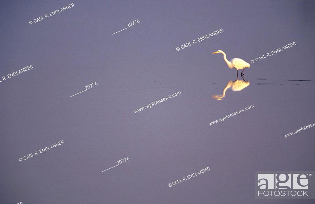 Stock Photo: Great Egret (Egretta alba). Bolsa Chica Ecological Reserve, California, USA.