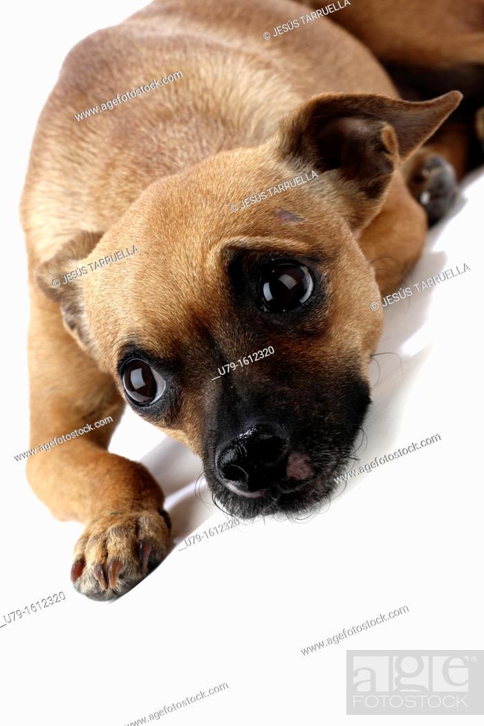 Stock Photo: Ratonero Valenciano, Spanish dog breed.
