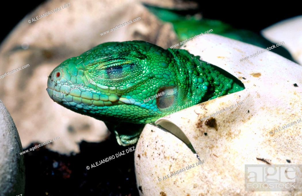Stock Photo: Iguana (Iguana iguana).