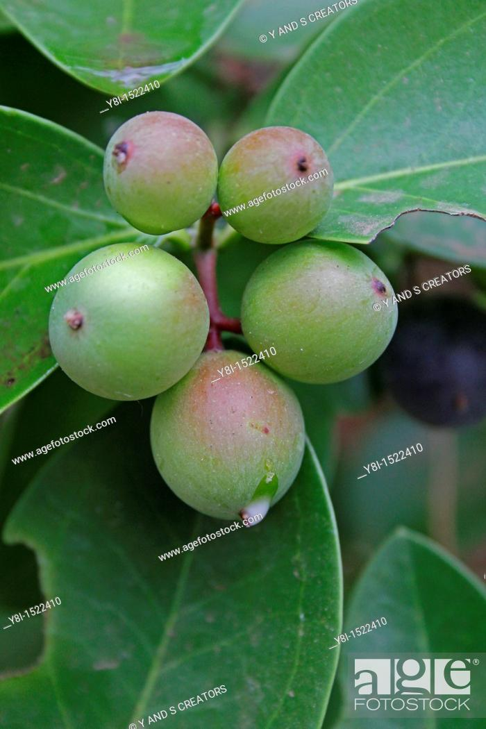 Stock Photo: Carissa Carandas, Apocyanaceae, Ratnagiri, Maharashtra, India.