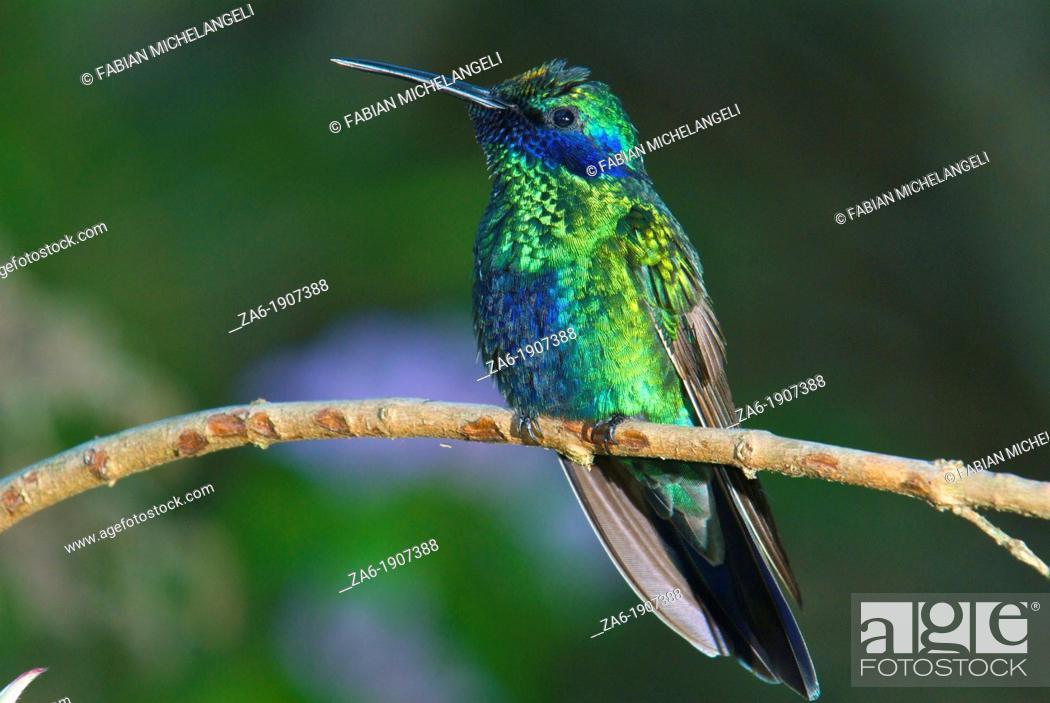 Imagen: Sparkling violetear hummingbird Colibri coruscans perched in the rain forest of northern Venezuela.