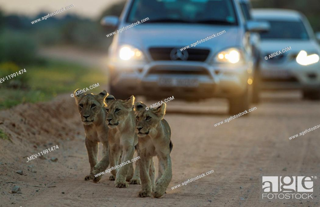 Stock Photo: Lion - three cubs walking on a road - at dawn - the cars behind just left a camp for the morning game drive - Kalahari Desert, Kgalagadi Transfrontier Park.