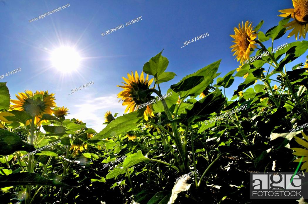 Stock Photo: Sunflowers heading to the sun, Puy de Dome department, Auvergne Rhone Alpes, France.