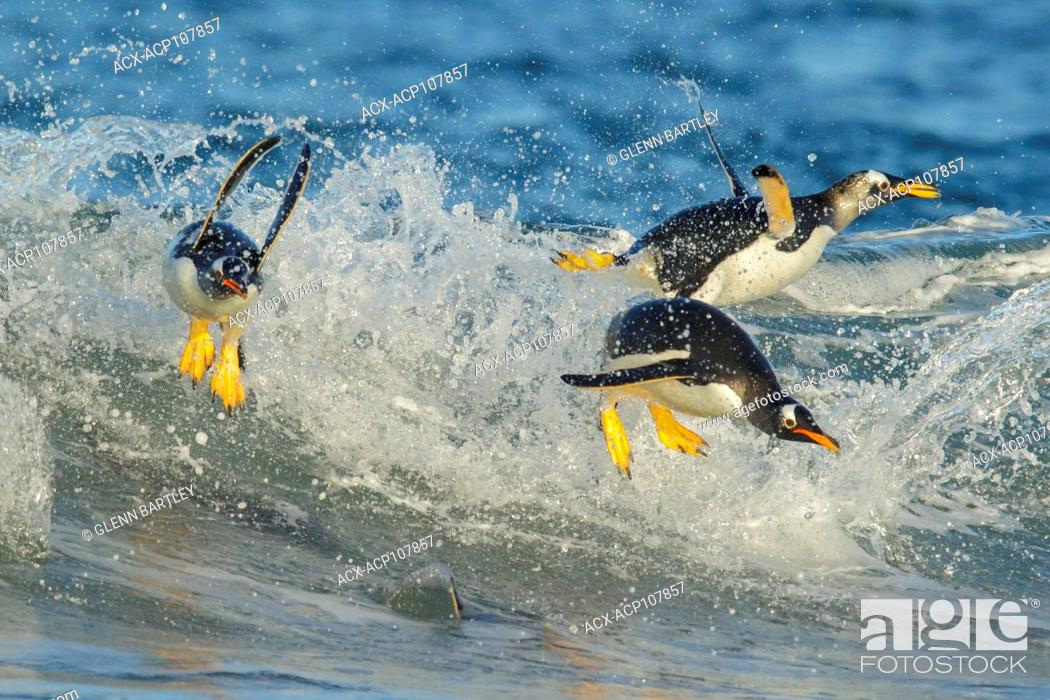 Stock Photo: Gentoo Penguin (Pygoscelis papua) returning to land through the waves in the Falkland Islands.