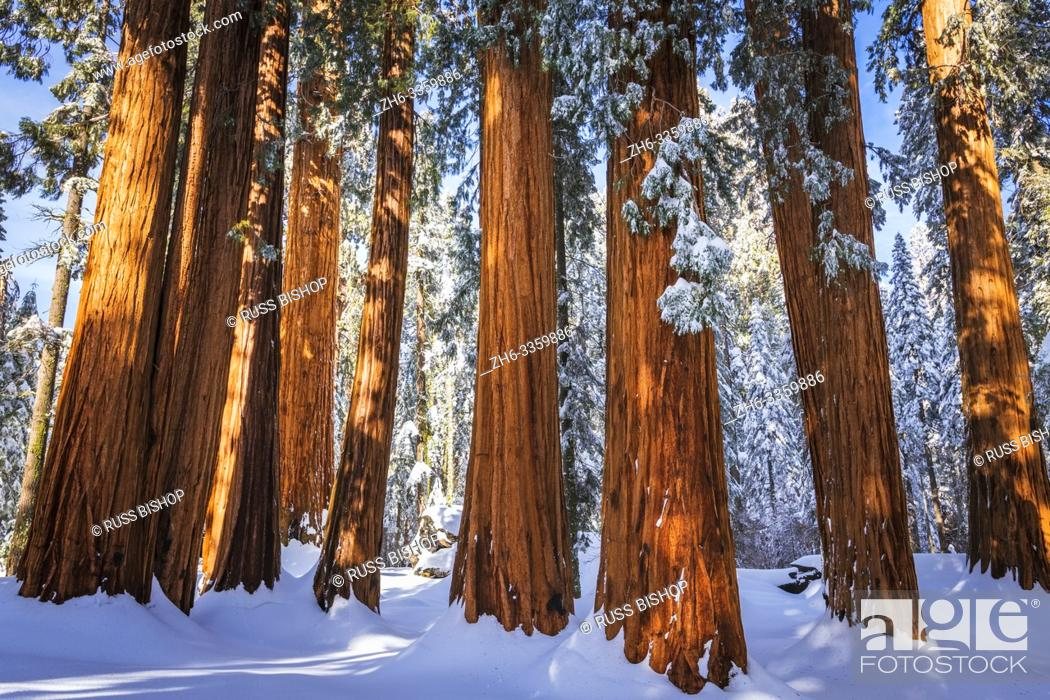Stock Photo: Giant Sequoia in winter, Giant Forest, Sequoia National Park, California USA.