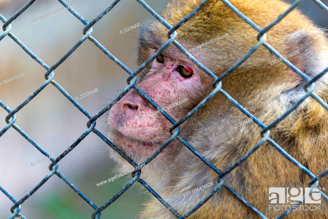Stock Photo: Captive macaque monkey.