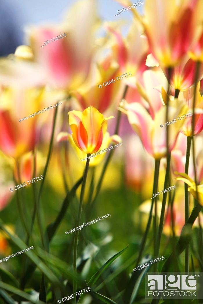 Stock Photo: tulips in a field at wooden shoe tulip farm, woodburn oregon united states of america.