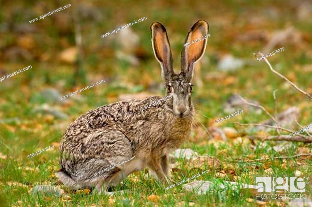 Jack Rabbit Usa >> Usa Texas Hill Country Near Hunt Jack Rabbit Stock Photo