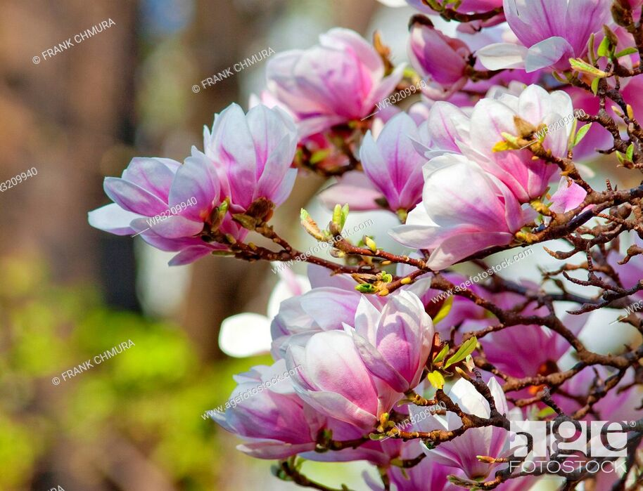Stock Photo: Closeup of Magnolia Flower at Blossom in Spring.