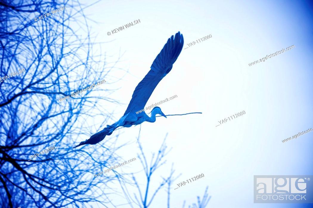 Stock Photo: Grey Heron building nest.