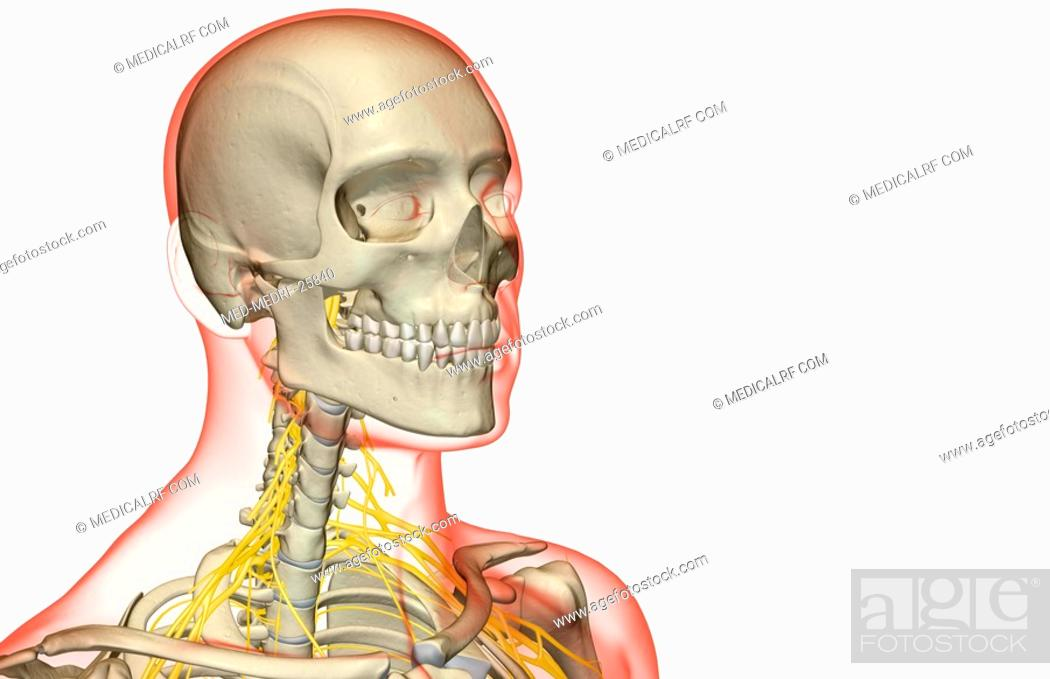 The Nerves Of The Neck Stock Photo Picture And Royalty Free Image