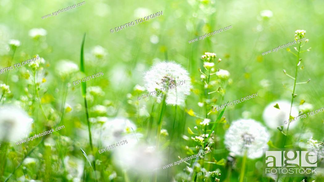 Stock Photo: Dandelion meadow. Seasonal natural backgrounds with shallow depth of field.