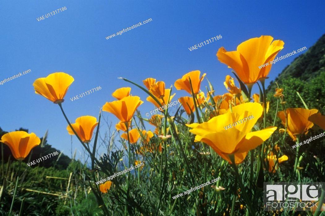Stock Photo: California Poppy in bloom.