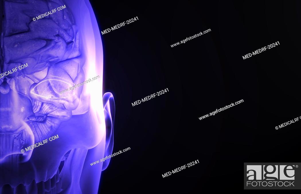 Stock Photo: The brain.