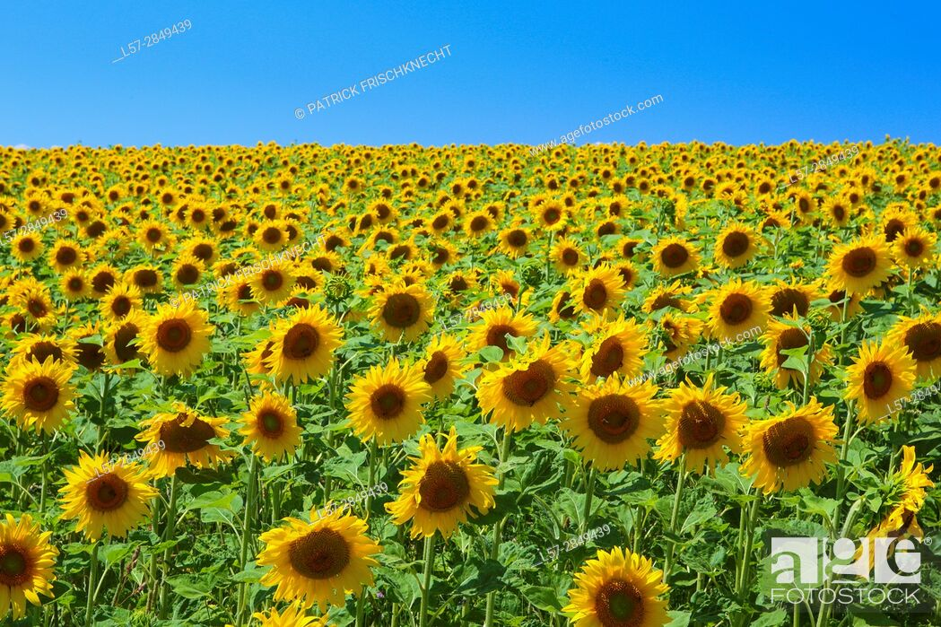 Stock Photo: field of sunflowers, Switzerlannd.