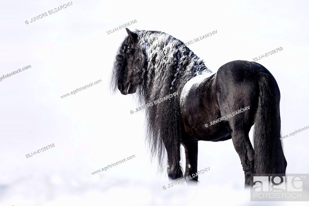 Friesian Horse Black Stallion Standing In Snow Germany Stock Photo Picture And Rights Managed Image Pic Ssj H 81056768 Agefotostock