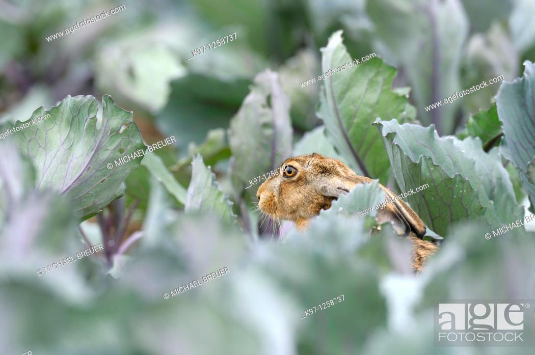 Stock Photo: European brown hare (Lepus europaeus) in summer, Germany, Europe.