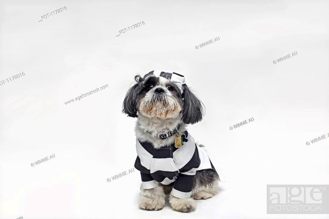 Stock Photo: A Shih Tzu dressed as a policeman and one dressed as a prisoner.