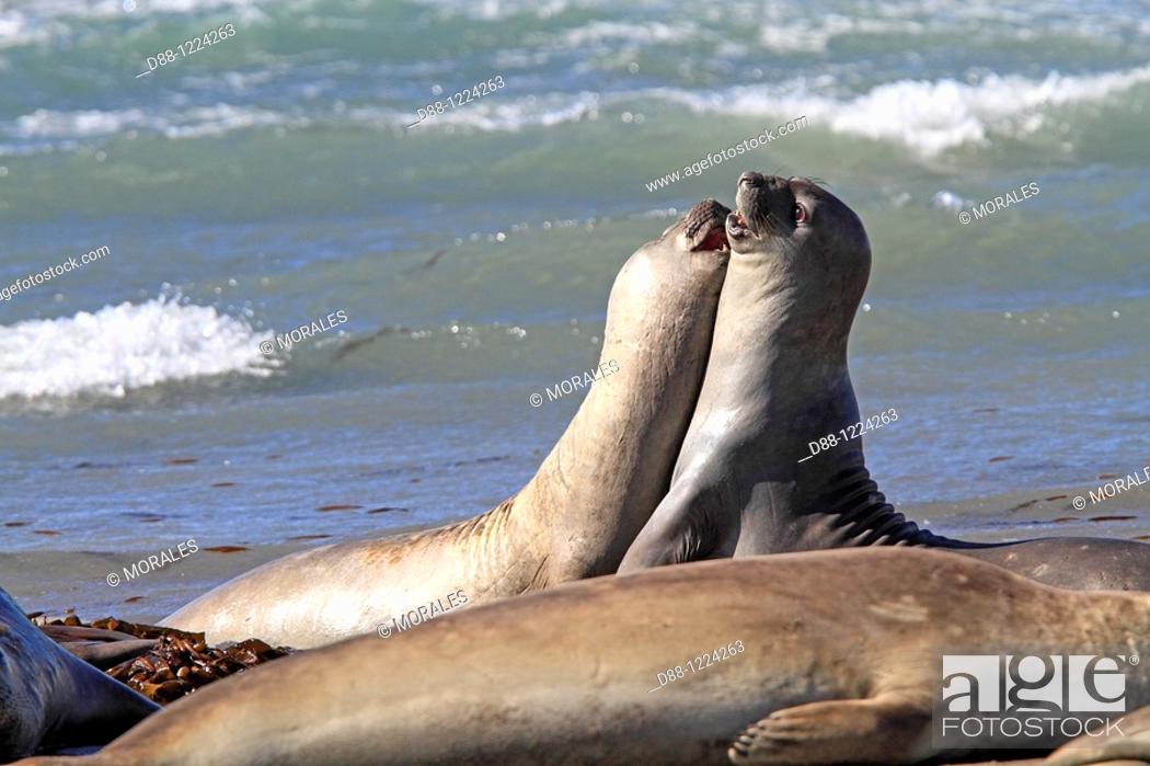 Imagen: Southern Elephant Seal Punta delgada  Valdes Peninsula   Province of Chubut  Argentina  Mirounga leonina  Order : Carnivora  Family : Phocidae.
