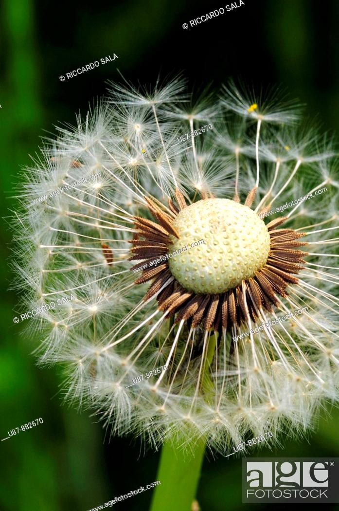 Stock Photo: Detailed View of Dandelion Seed.