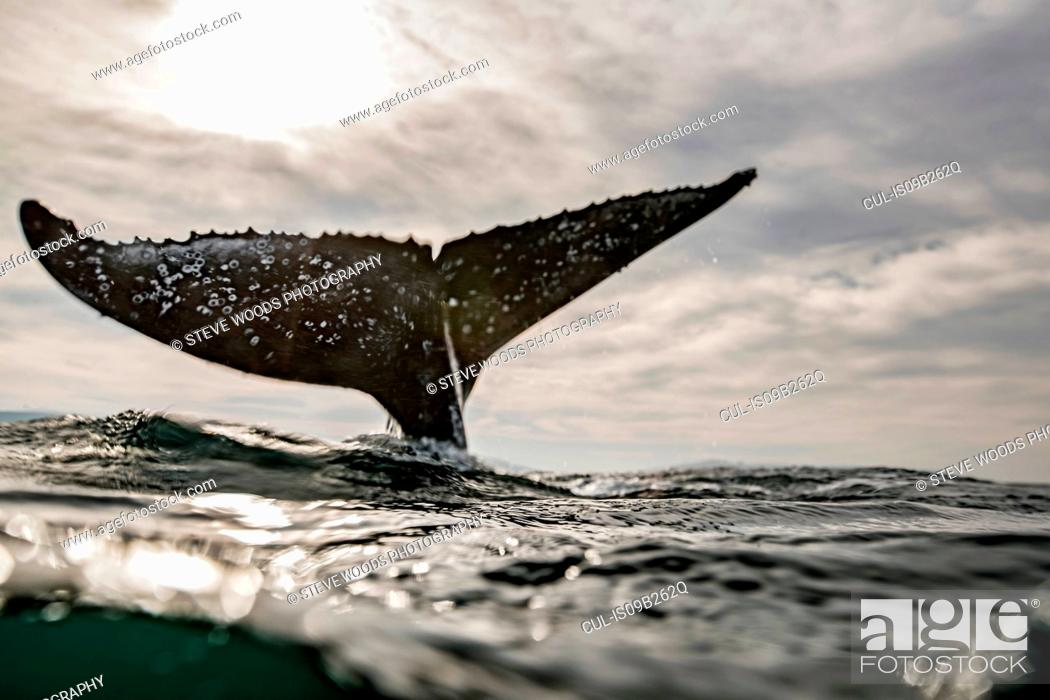 Stock Photo: Humpback Whale calf playing on surface of ocean, Port St. Johns, South Africa.