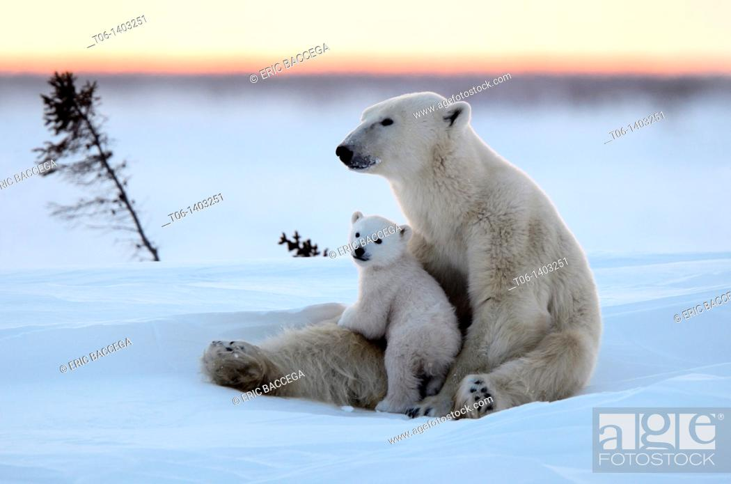 Stock Photo: Polar bear mother Ursus maritimus with one 3 months old cubs, coming out of den in March  Wapusk National Park, Manitoba, Canada.