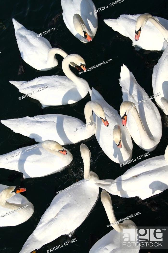 Stock Photo: Swans Lake Lucerne Switzerland.