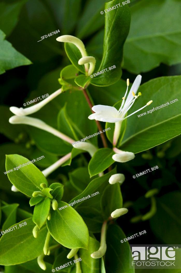 Stock Photo: Honeysuckle Flowers on Plant.
