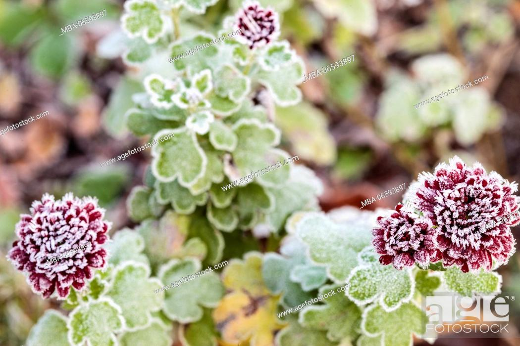 Stock Photo: frost-covered blossoms of an aster.