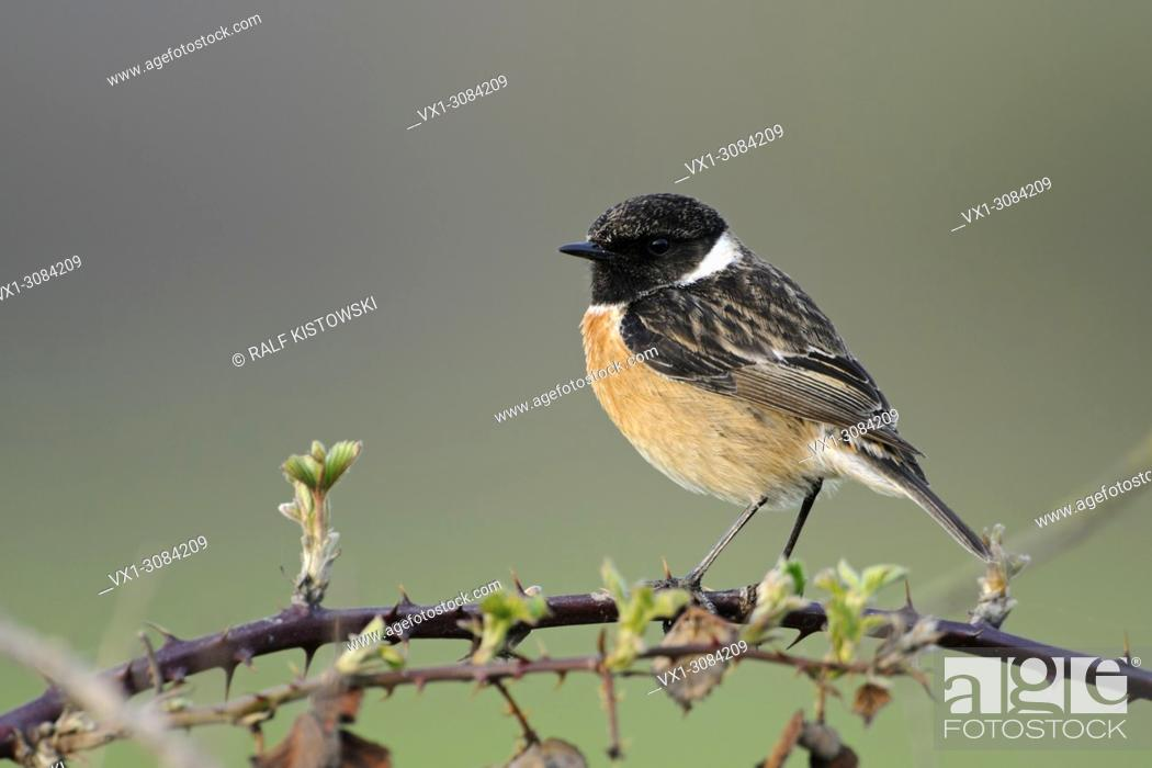 Imagen: European Stonechat ( Saxicola torquata ), male in breeding dress, perched on blackberry tendrils in front of a beautiful clean background, wildlife, Europe.