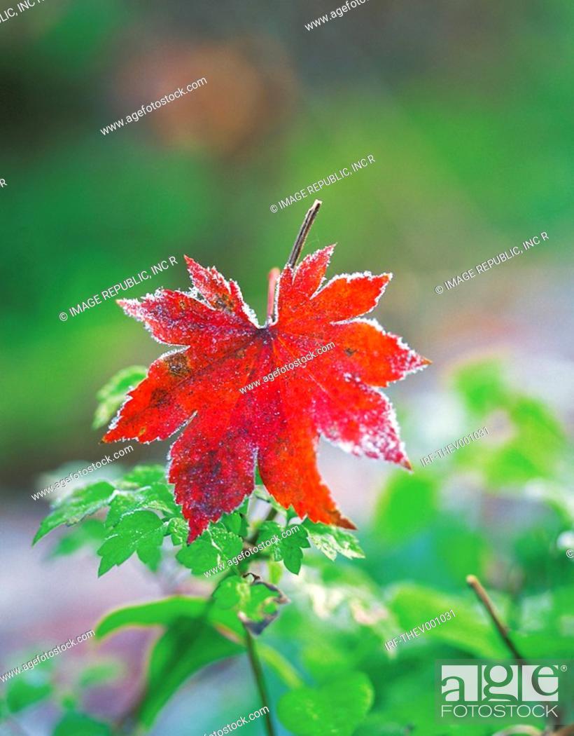 Stock Photo: mapple leaf.