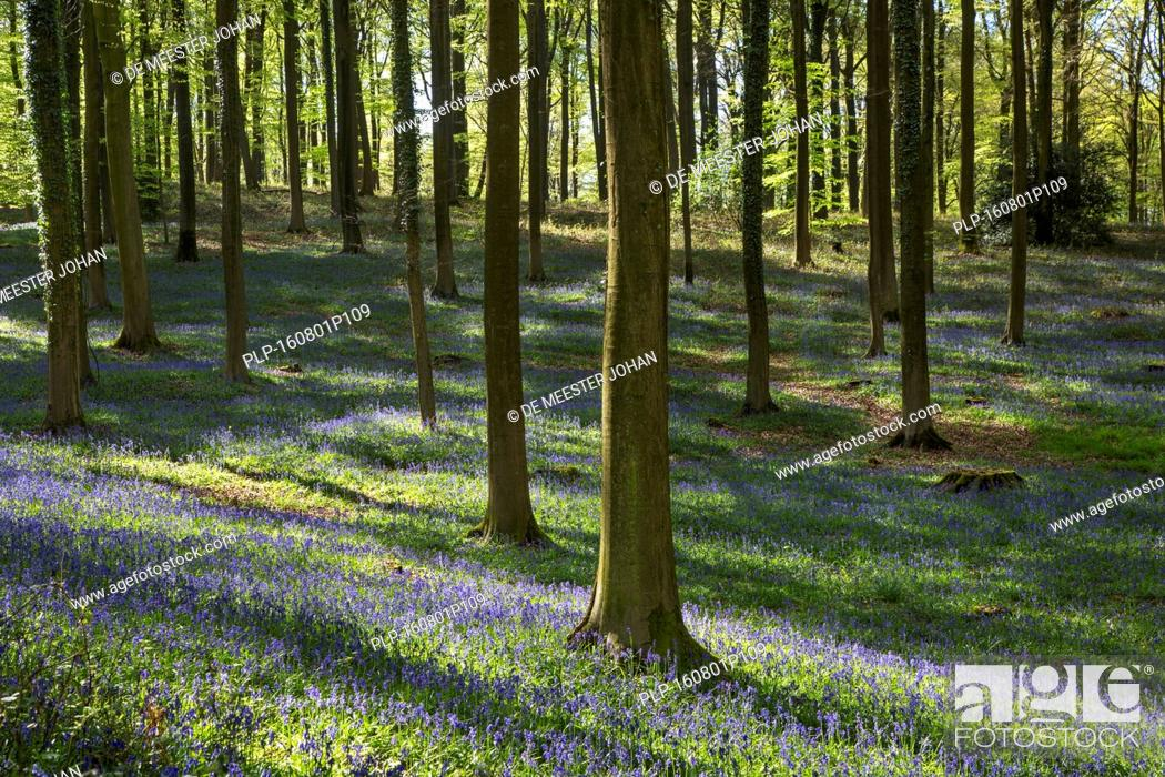 Stock Photo: Bluebells (Endymion nonscriptus) in flower in beech forest (Fagus sylvatica) in spring.