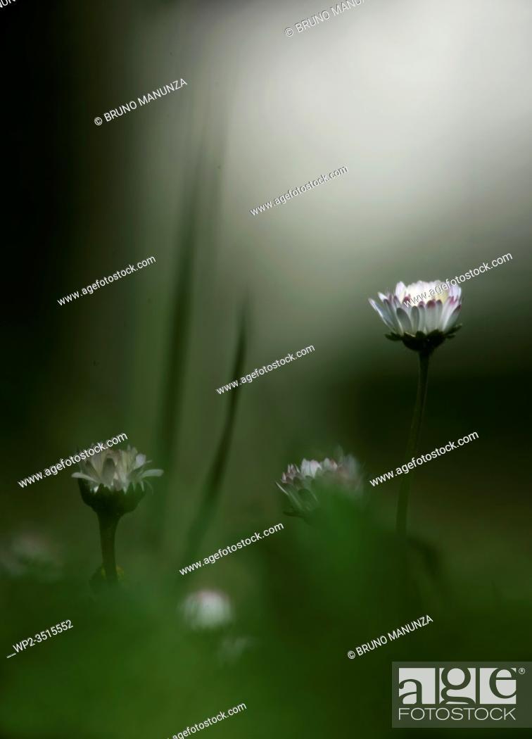 Stock Photo: Meadow with daisies in the spring time (Bellis perennis). Sassari, Sardegna, Italy.